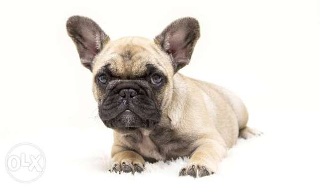 Availabile NOW in Egypt for immediate Purchase French bulldog puppies