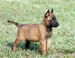 Pure Breed Belgium Malinois Puppies