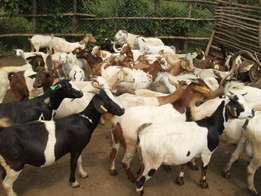 Pregnant Boer goats for sale