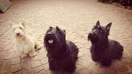 Scottish Terrier Pups (Black)