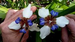 Various trees and Iris plants available