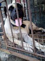 An adult female boerboel for sale