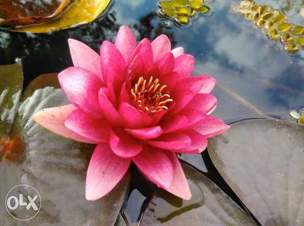 Water Lily fuchsia (Real Photo, NOT from Google)