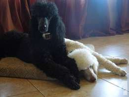 Standard French Poodle