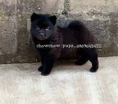 Chowchow puppies at give away price
