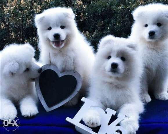 Samoyed puppies, males and females
