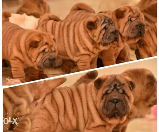Sharpei Puppies.. Imported.. Premium quality.. With all documents
