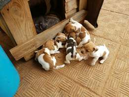 Jackrussel pupies