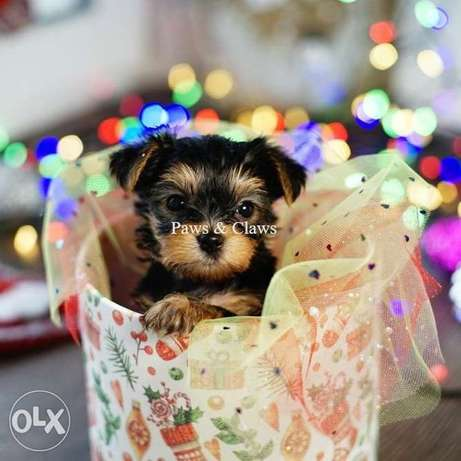 Yorkshire , The most beautiful Yorkie kids