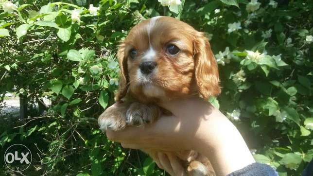 Cavalier king charles spaniel imported from Ukraine