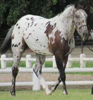 Registered Appaloosa Filly