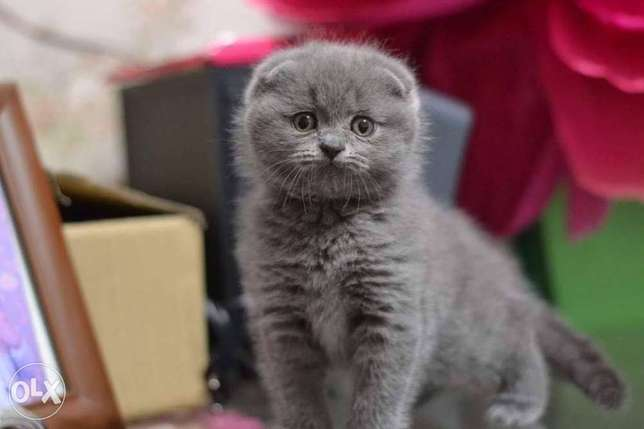 Imported kittens Scottish fold