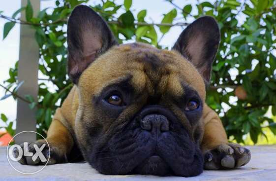 The best male french bulldog imported from Ukraine available for stud