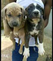 Pitbull puppies and other breeds available