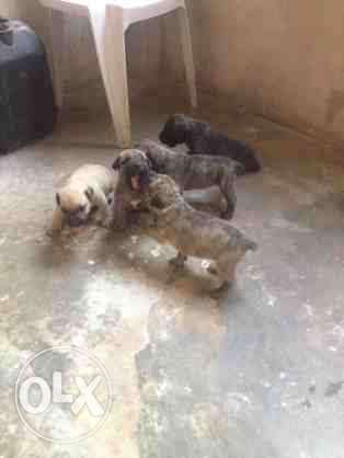 Amazing Boerboel puppies for sell Central Business District - image 1