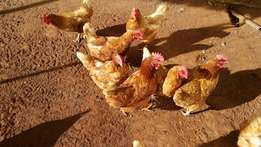 Layer hens