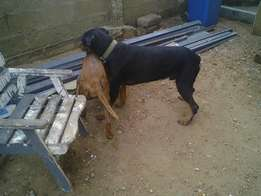 Rottweiler for crossing at a cool price 1000gh or puppy deal.
