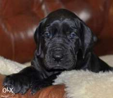 Imported great dane puppies, premium quality with Pedigree