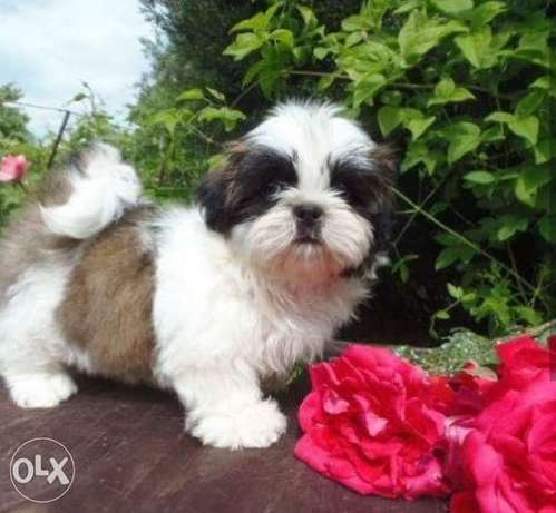 Imported top quality shihtzu puppies with all documents