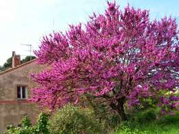 WANTED: Judas tree Cercis siliquastrum