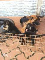 Gsd puppies for sale