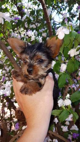 yorkshire terrier pocket puppies Helderberg - image 3