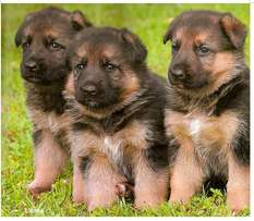 2 months old healthy German Shepherd puppies for sale.2males,1female