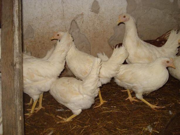 Кури породи сусекс сландо