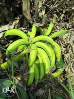 Quality plantain for sale