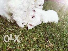 4 minuture maltese poodles male not injected