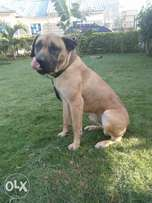 Male boerboel for sale