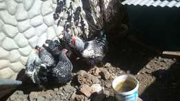 Chicks for sale7