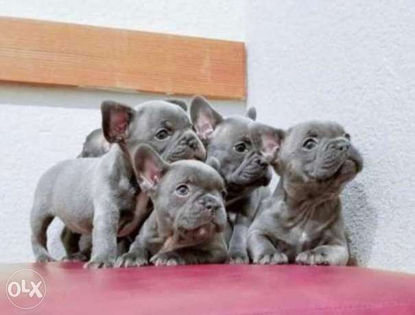 Imported blue French Bulldog puppies with Pedigree and microchip