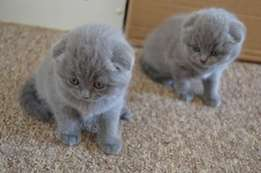 Home Raised Scottish Fold Kittens For Sale!