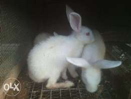 Young Male Rabbits for sale