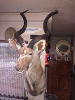 Animal Trophies for sale