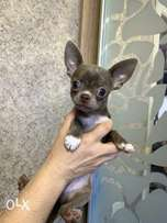 """Chihuahua Puppies Ready for reservation """" Imported"""""""