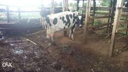 High quality heifers and lactating animals for sale