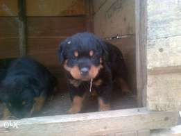 rottweilller puppies for sale