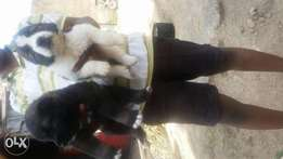 Puppies available good home good price