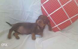 Peer breed Dachshund Puppies in need of a good home.