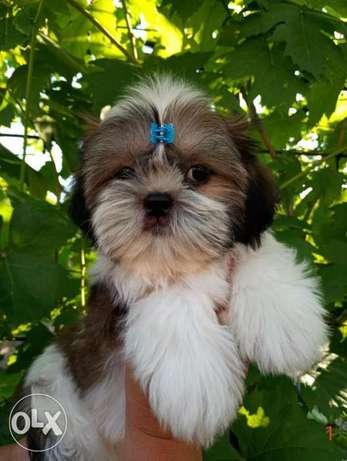 IMPORTED Shihtzu Male 4 Months Full documents Top Quality Best price