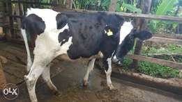 2 18 months old heifers