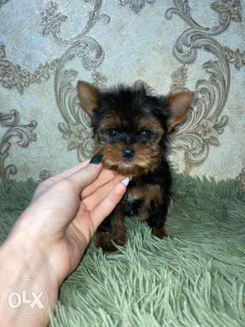 Amazing Yorkshire Mini Size Male 2 Months 800 grams from Ukraine