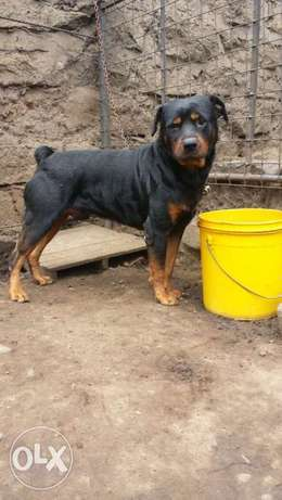 Fully trained Rottweiler male City Centre - image 1