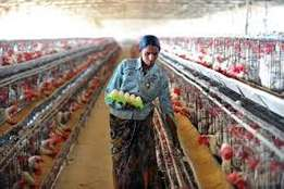 Available stock of fresh large and medium chicken eggs