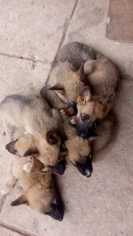 Mixed Breed German Shepherd Puppies Athi River Township - image 5