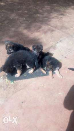 Pups for sale gsd Ngong - image 2