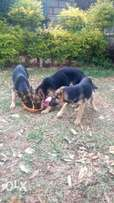 Fully vaccinated four months German Shepherd puppies