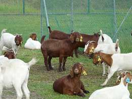 healthy 180 Klahari and Boer Goat